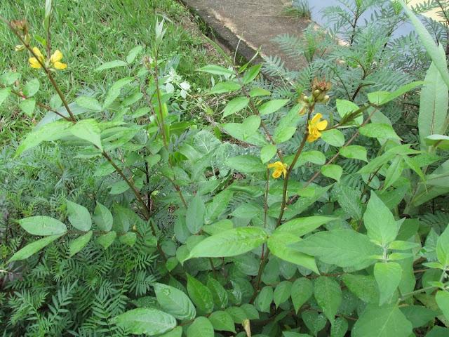 Fedegoso a planta que alivia as temidas cólicas menstruais