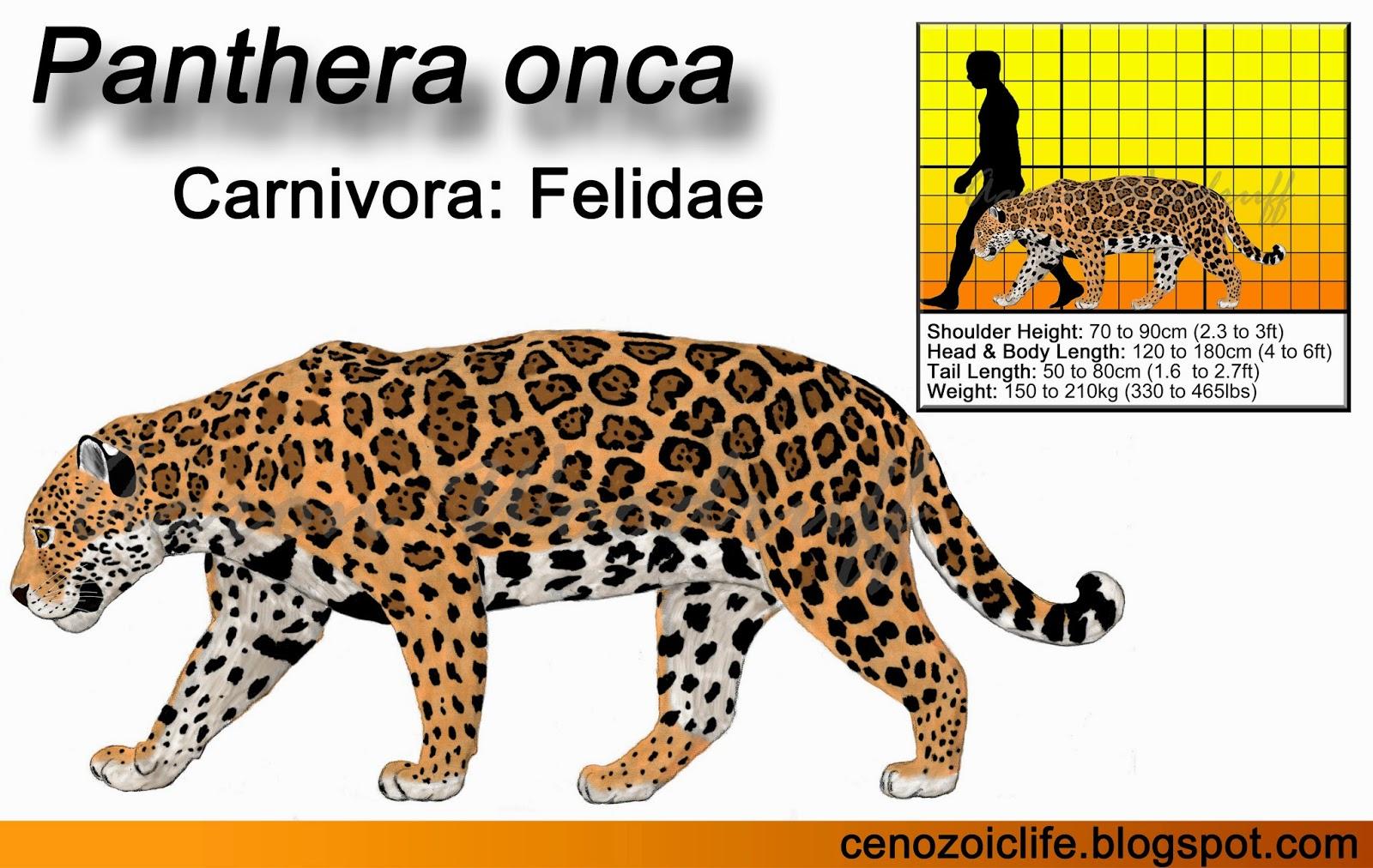 snow leopard anatomy diagram 2009 toyota corolla serpentine belt life in the cenozoic era jaguar panthera onca