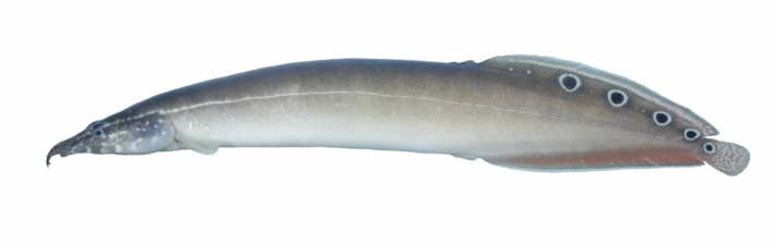 Animal Pictures: Spiny Eels and Gar Fish