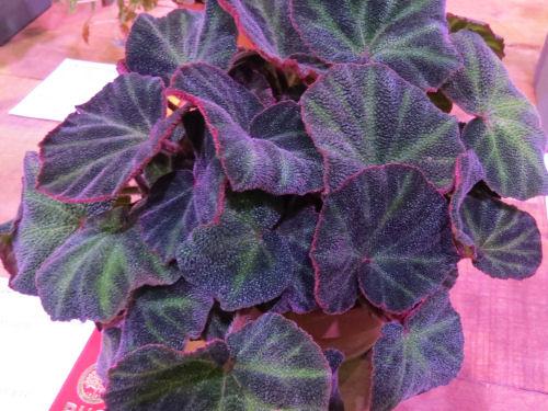 Philadelphia Flower Show 2015- begonia Soli Mutata