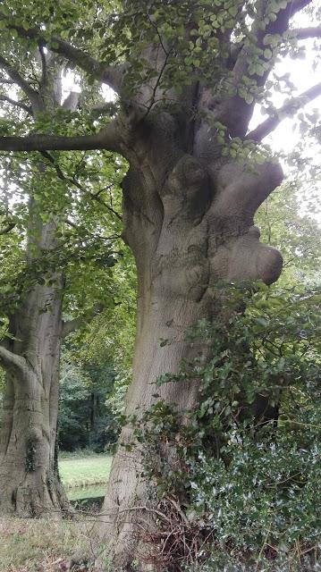 Oude boom in kloostertuin Maarssen
