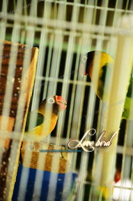 Penjual Piyik dan Penangkar Lovebird di Gresik