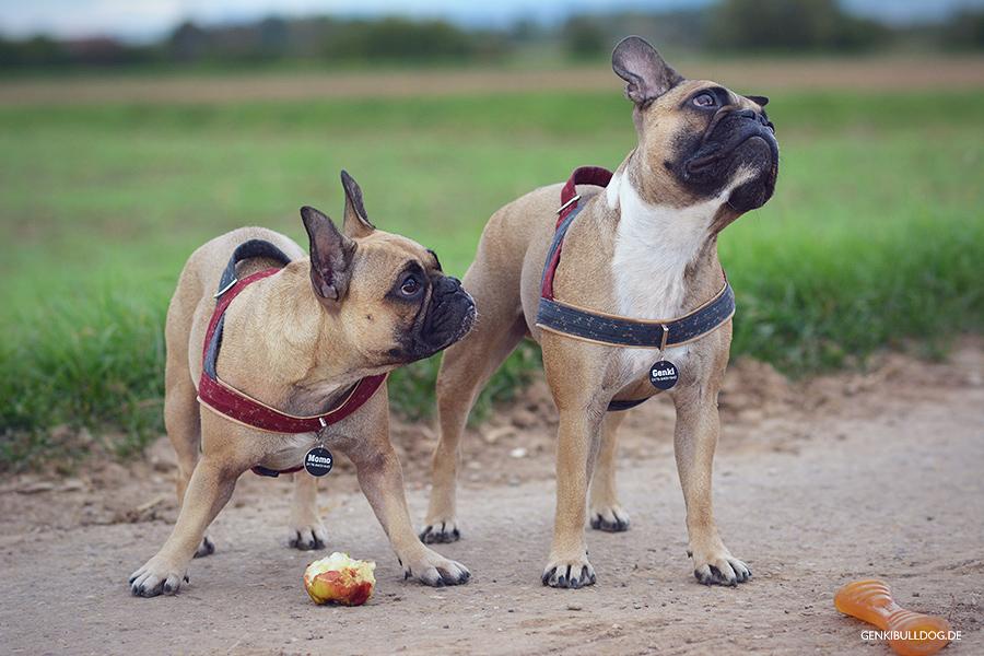 Hund Hundeblog Französische Bulldogge Apfel Obst Bully Frenchie dogblog blog