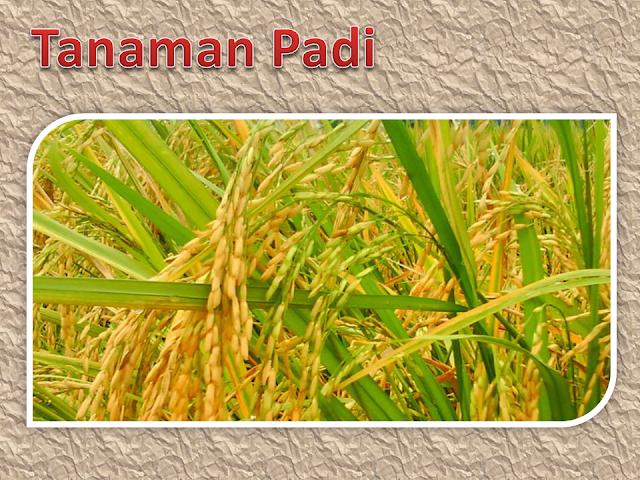 Budi daya tanaman padi