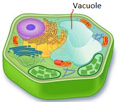 animal cell vacuole diagram - photo #31