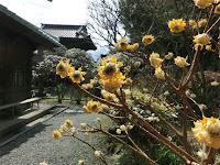英勝寺のミツマタ