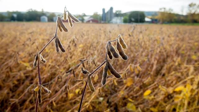 Manfaat Kacang Kedelai dan Kandungan Gizinya