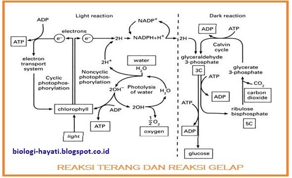 Gabungan Reaksi Gelap & terang