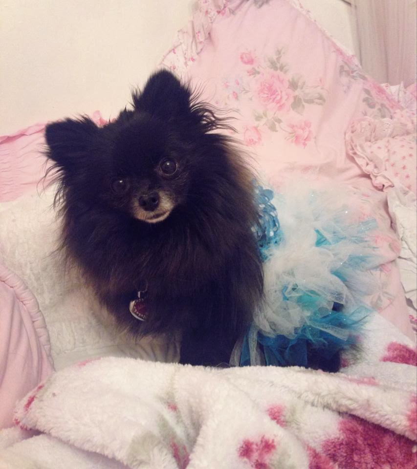 pomeranian rescue oregon not so shabby shabby chic meet lilly 390