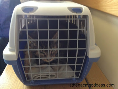 nervous cat in carrier