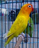 Melatih Mental Burung Lovebird Tersebut