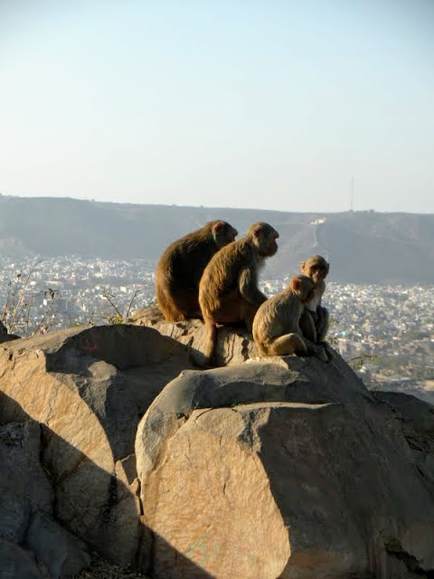 What to see in Jaipur India: 3 monkeys on rocks near the Jaipur Monkey Temple
