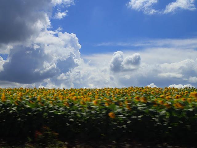 Pole słoneczników gdzieś na środkowej Ukrainie