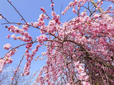 枚方市・山田池公園の枝垂れ梅