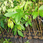 pohon mahoni | bibit mahoni | jual bibit mahoni | budidaya mahoni | bertanam mahoni | pemeliharaan tanaman mahoni | manfaat mahoni | khasiat mahoni