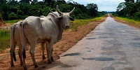 Cattle farming and roads are major causes of deforestation in Brazil's Amazon region. (Image Credit: Kate Evans/CIFOR via Flickr) Click to Enlarge.