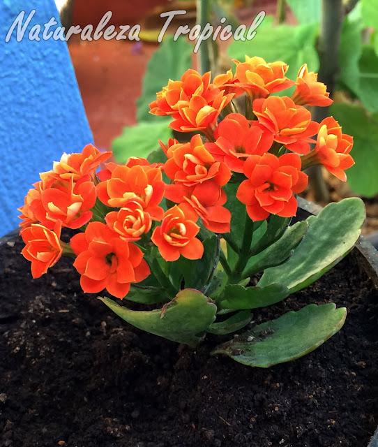 Variedad naranja de las flores de la planta suculenta Kalanchoe blossfeldiana