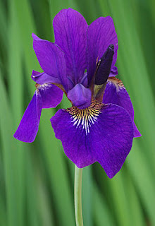 bunga-iris