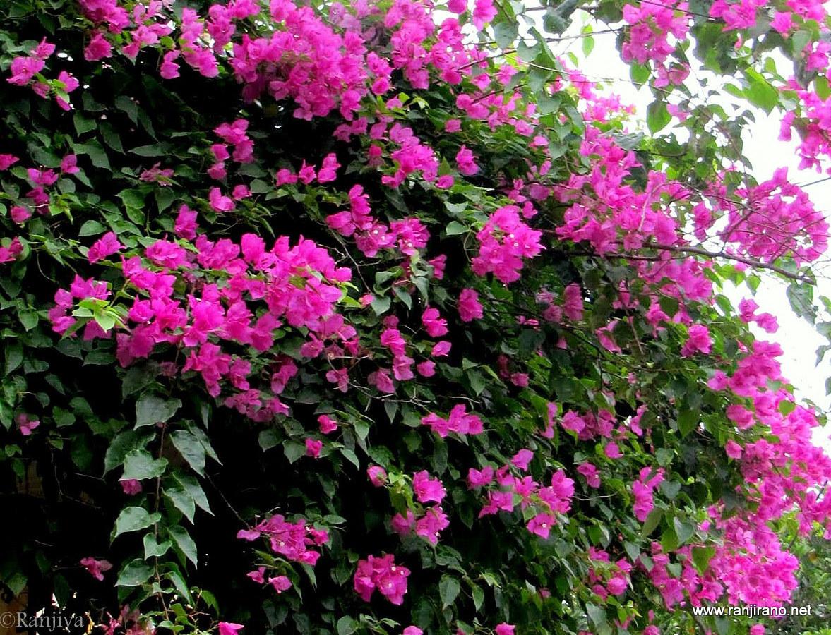 des bougainvilliers roses et la couleur rose | paysages et fleurs au
