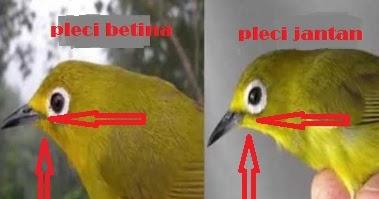 Cara Bedakan Burung Pleci Jantan Dan Betina Purwomp Com