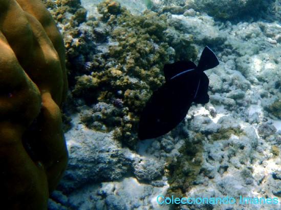 pez negro