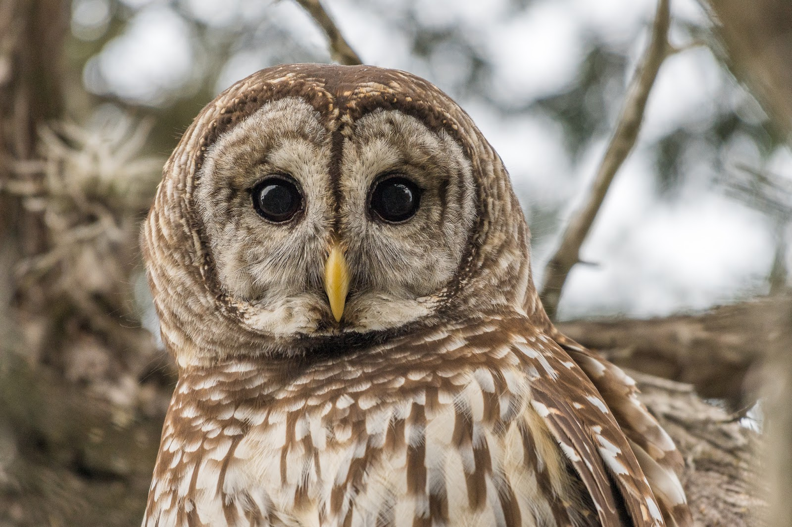 barred owl Luna, a two year old male barred owl, was struck by a car in new hampshire photo by bharath manu akkraraveetil.
