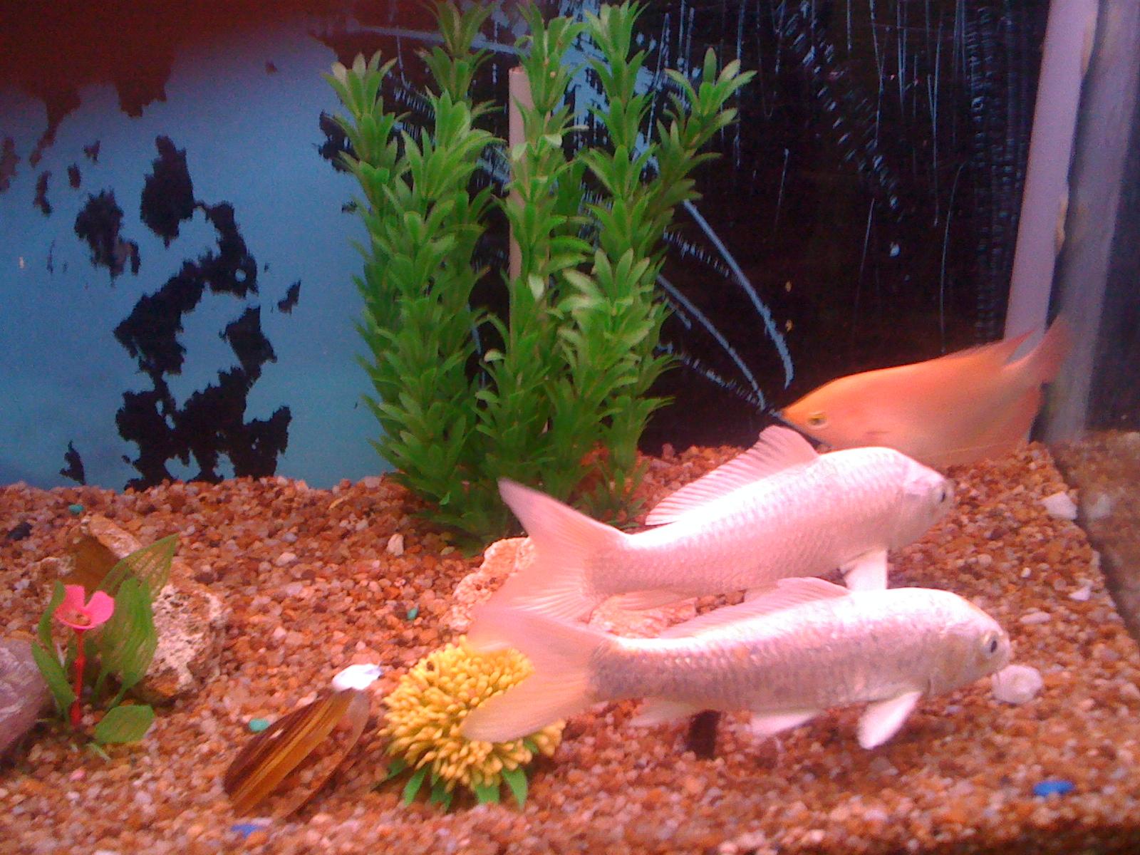 Marine Aquariums White Koi Fish