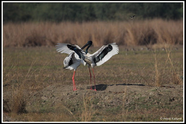 Black necked stork at Bharatpur