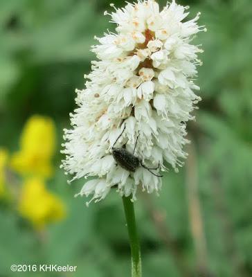 beetle on American bistort
