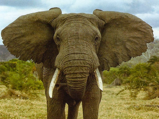 Elephant Wallpapers Free Download