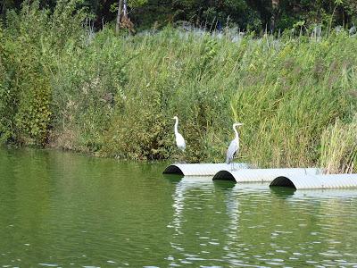 山田池の鷺