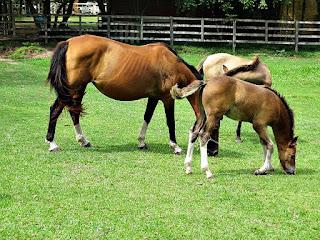 Égua Beatrix e Potros - Cabanha Costa do Cerro