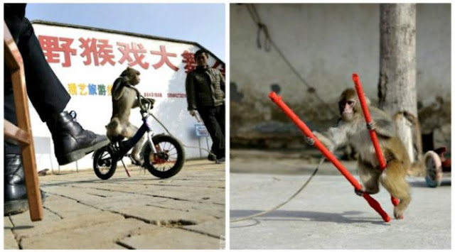 Monyet dengan sepda dan 2 bilah bambu