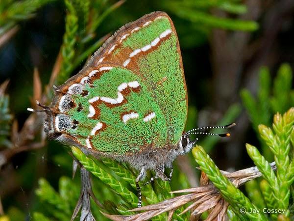Imagen de mariosa de alas verdes