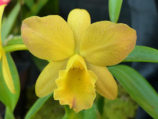 Sophrolaeliocattleya Angel Song - Slc Angel Song