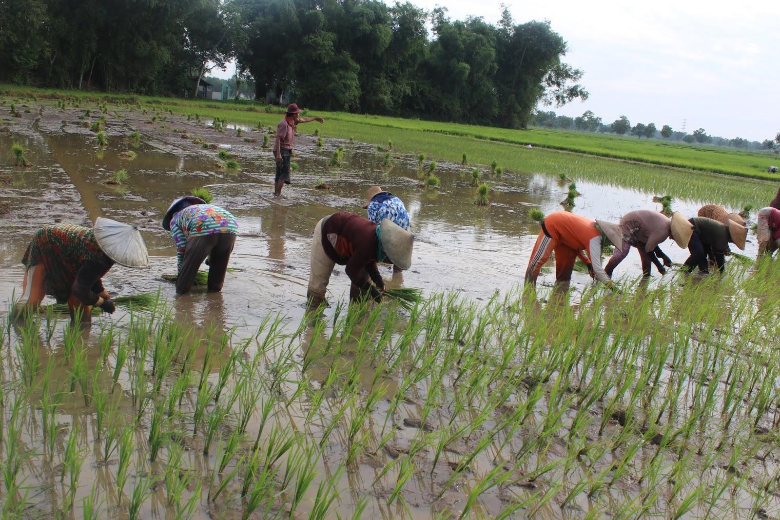 Membantu Kegiatan Menanam Padi Di Sawah Salah Satu Warga Desa Blog Desa Banyubesi