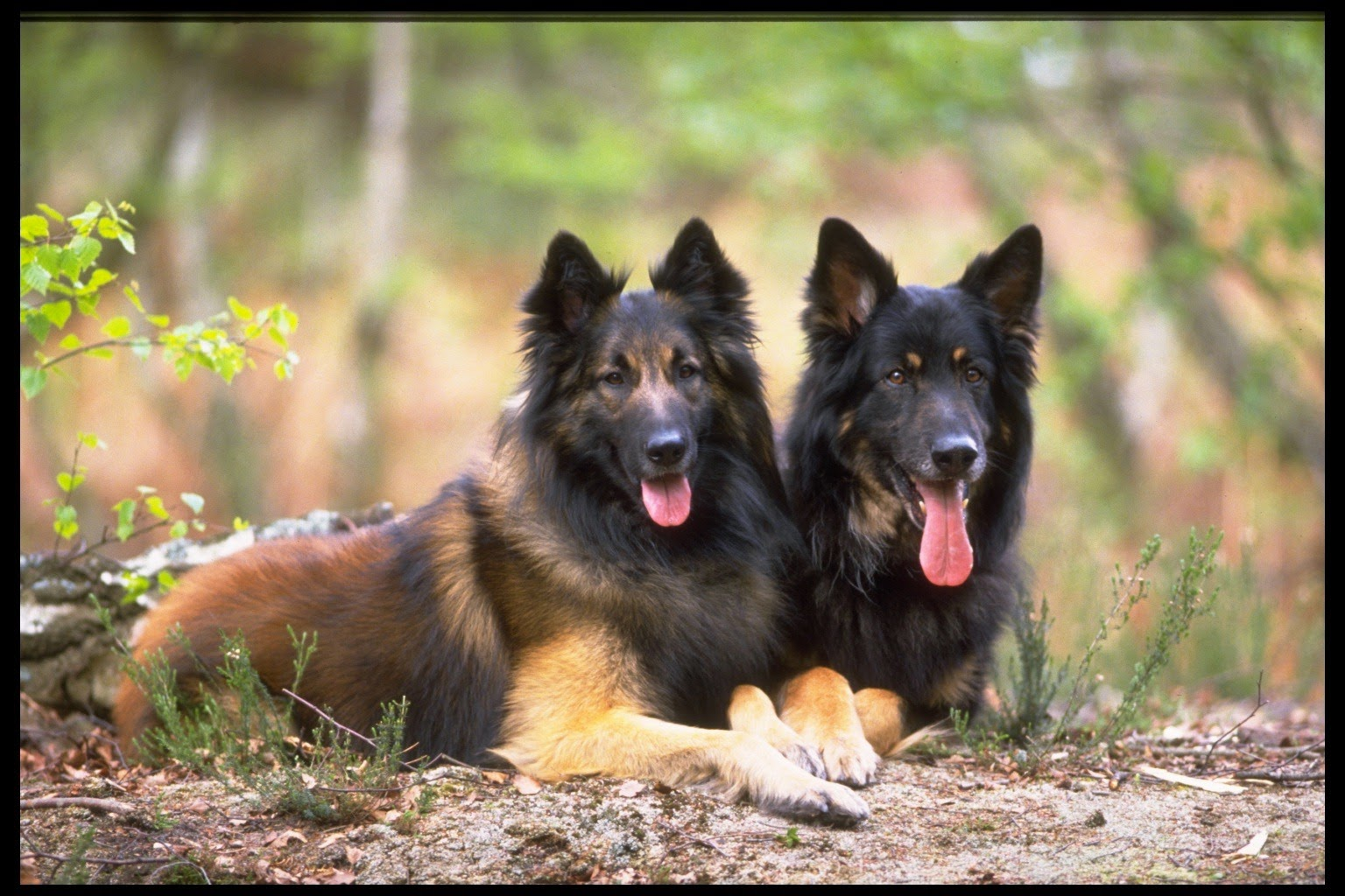 Training German Shephard Dogs