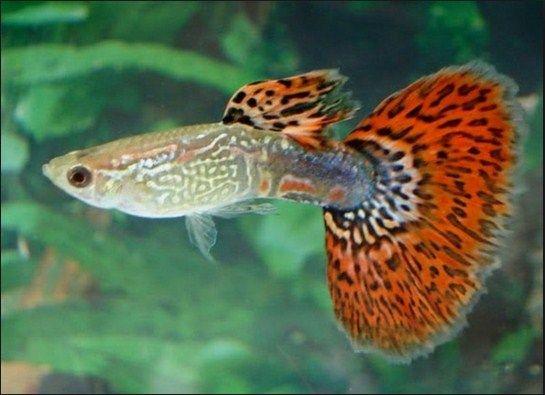 Ikan Hias Termahal - Guppy