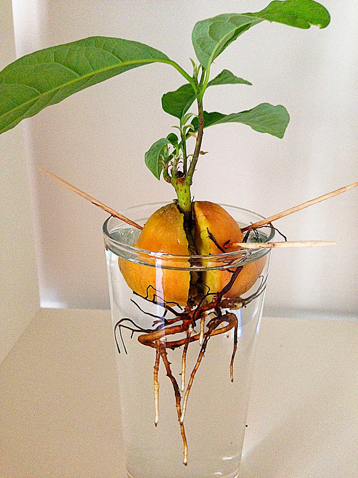 Daughter Of Pearl: How To Grow An Avocado Tree From Seed