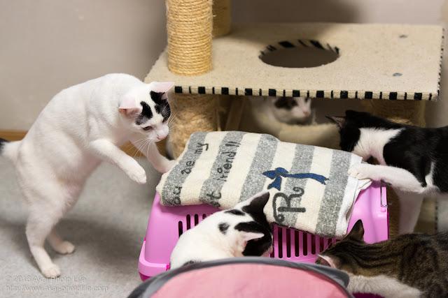 西国分寺シェルター、譲渡が決まった猫に他の子が別れの挨拶をしている写真