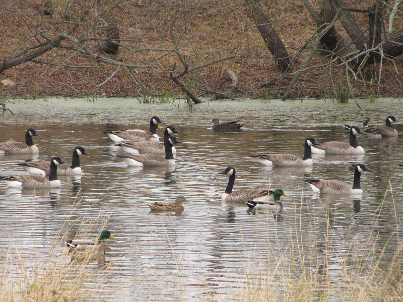 More Ducks | The Land Conservancy for Southern Chester County