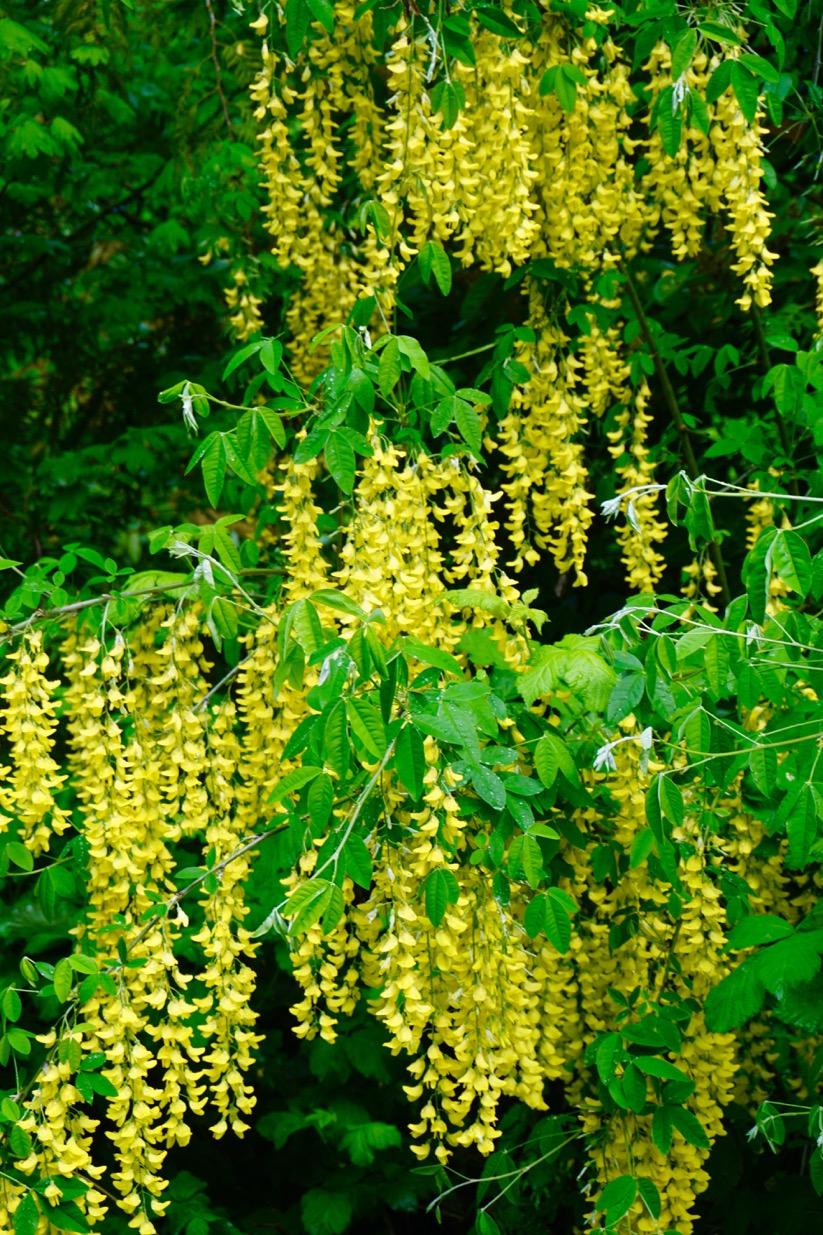 Shoreline Area News Photos Pretty Yellow Flowers