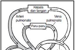Perbedaan Antara Pembuluh Nadi (Arteri) dengan Pembuluh Balik (Vena)