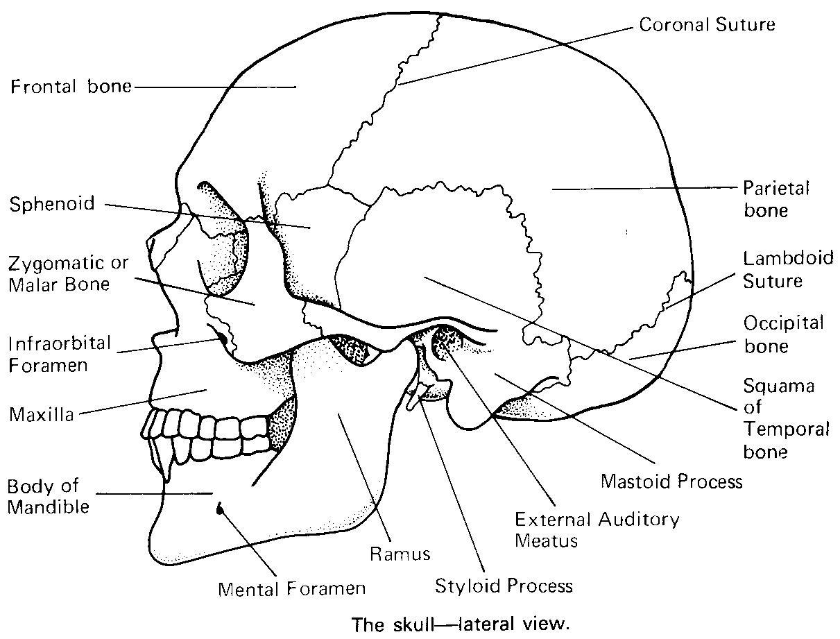 Anatomy : skull