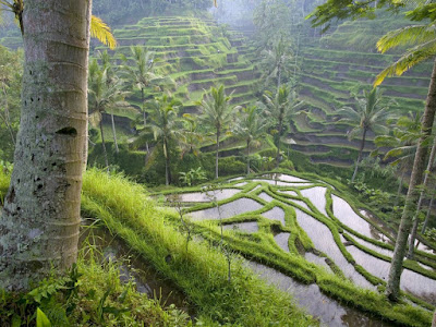Cycling Around The Rice Field