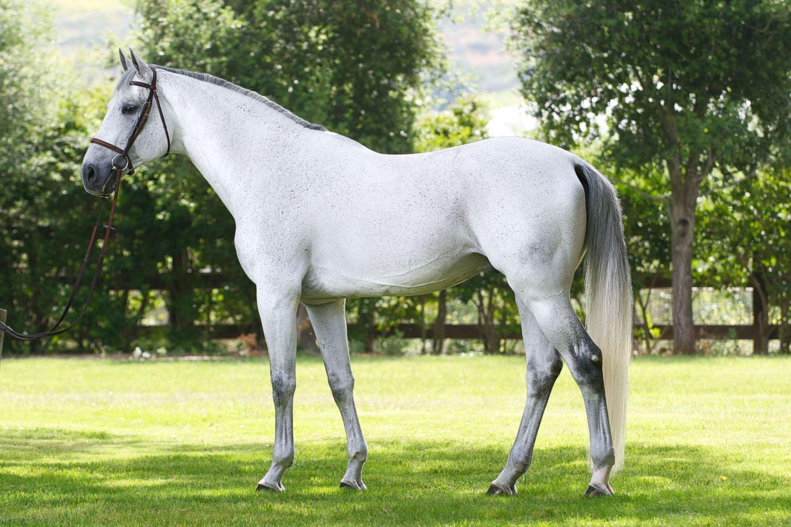 Cavalo Holsteiner