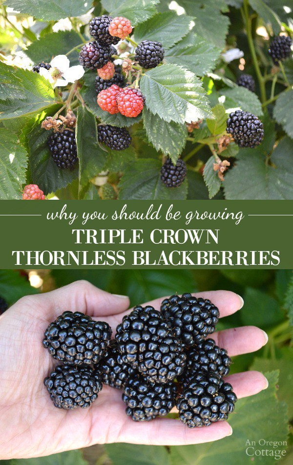 How To Grow Blackberry Planting Growing And Harvesting