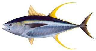 Klasifikasi dan Deskripsi Tuna Madidihang (Thunnus Albacares)