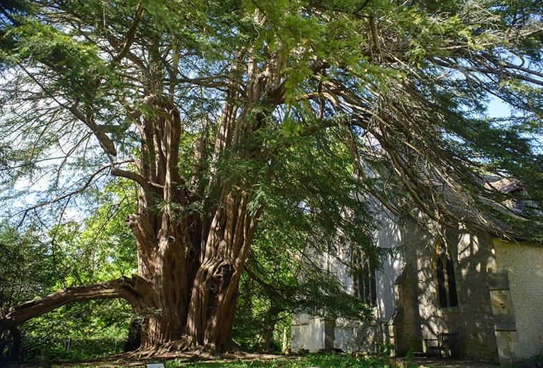 trees planet taxus baccata european yew english yew