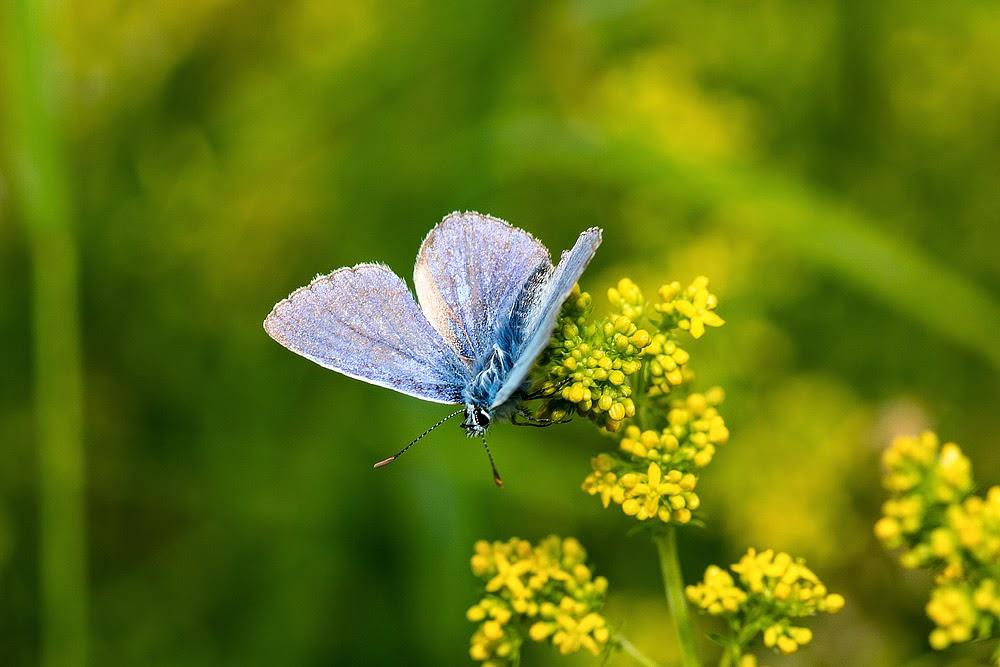 Common Blue Butterfly - Loughton Valley Park, Milton Keynes